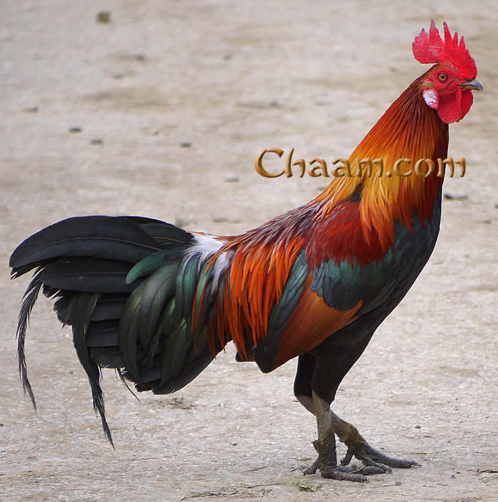 Colourful cock in Ancient City