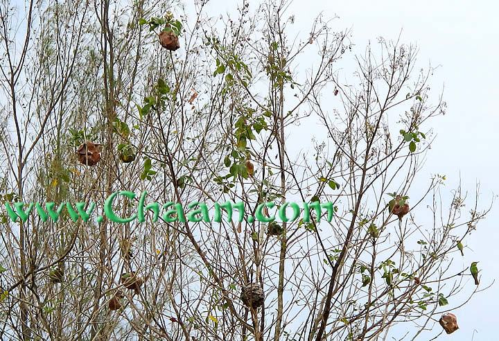 Bird nest colonies in Cha-Am Thailand