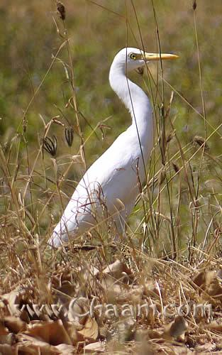 Great White Egret Cha-Am