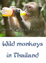 Wild monkeys in Cha-Am